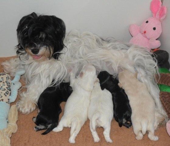 Lutine bichon havanais première maternité