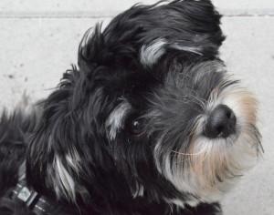 image-bichon-havanais-black-and-silver-copain1