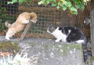 image1-bichon-havanais-chat