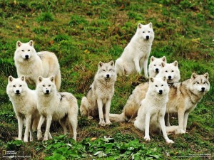 meute loups