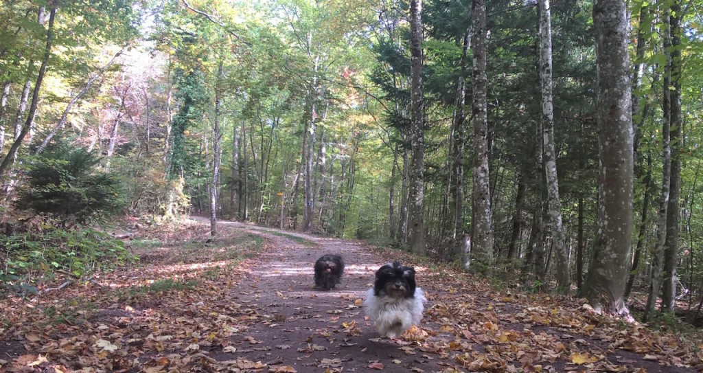 bichons-seclatent-foret