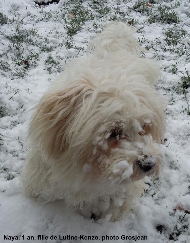 neige bichon