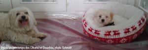 chiot bichon havanais