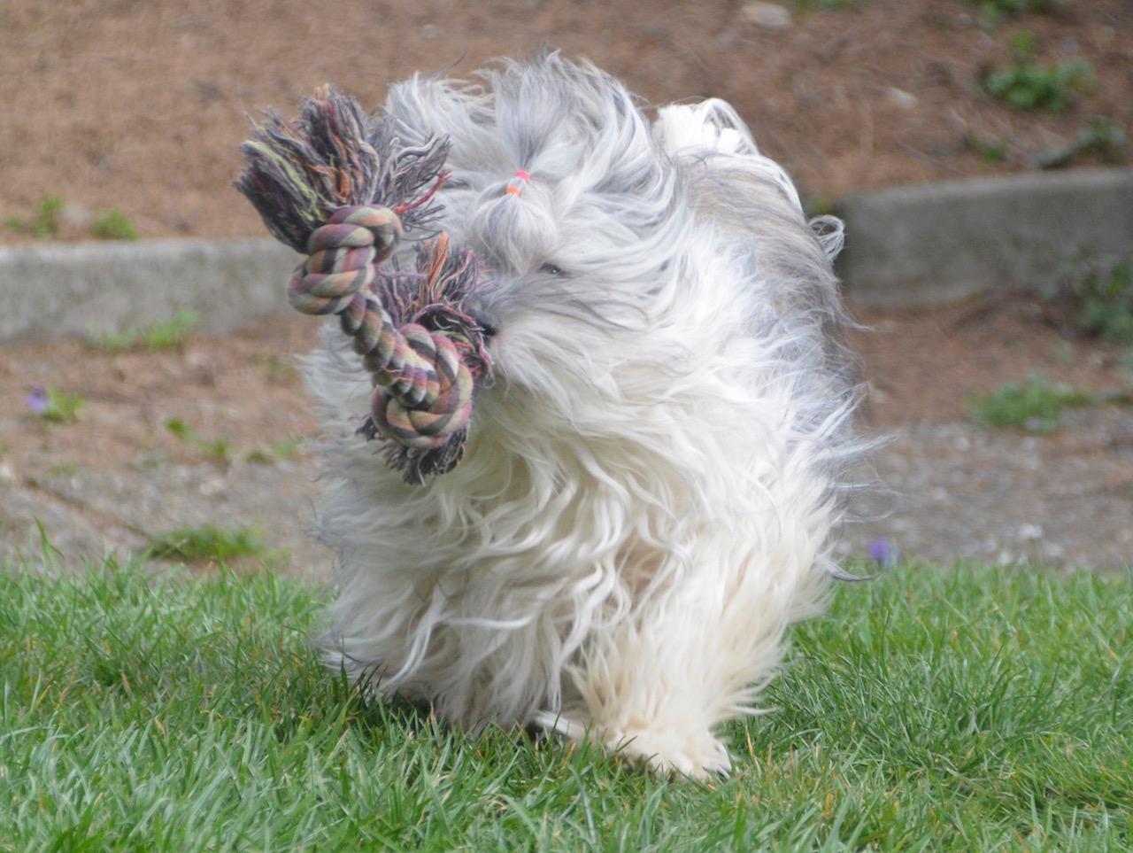 La beaut du havanais poil au vent elevage de bichons - A poil dans son jardin ...
