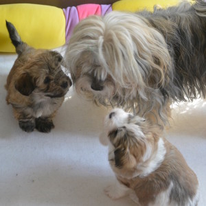 nos chiots ont 5 semaines