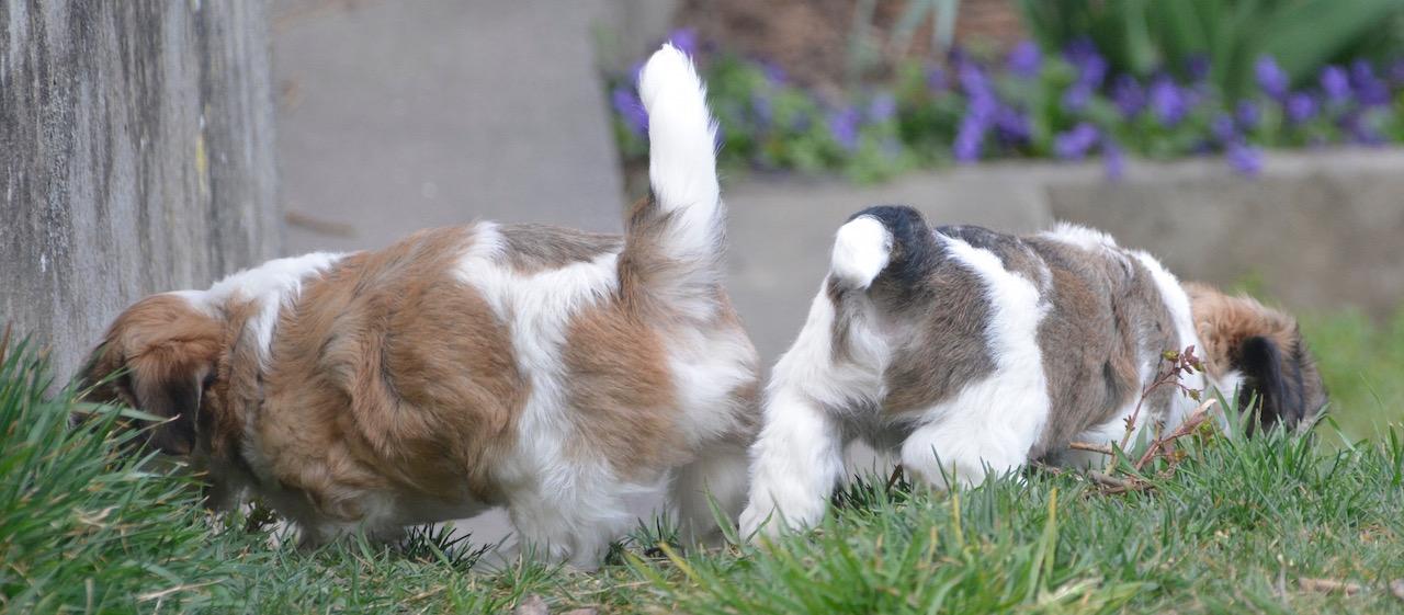 Premi re sortie au jardin pour nos petits amours bichon - A poil dans son jardin ...