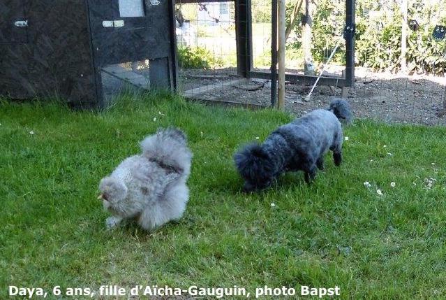 hL'évolution des chiots d'Aïcha bichon havanais
