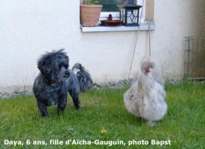 L'évolution des chiots d'Aïcha bichon havanais