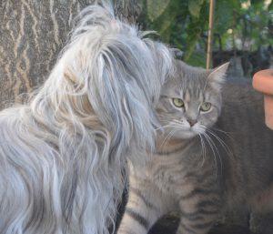 des chats des chiens bichon havanais