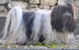 des chiens bichon havanais