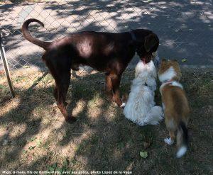 Miga bichon havanais et ses amis