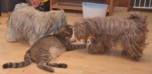 bichon havanais chat