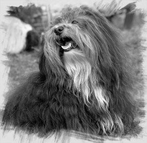 portraits bichon havanais