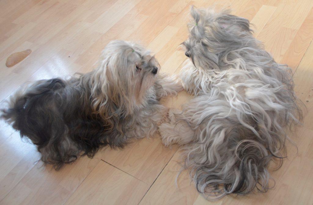 jolis portraits chiens bichons havanais