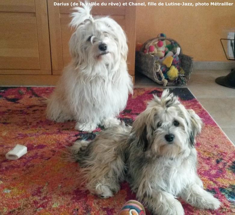 Chanel et Darius, bichons havanais nés à la vie est belle