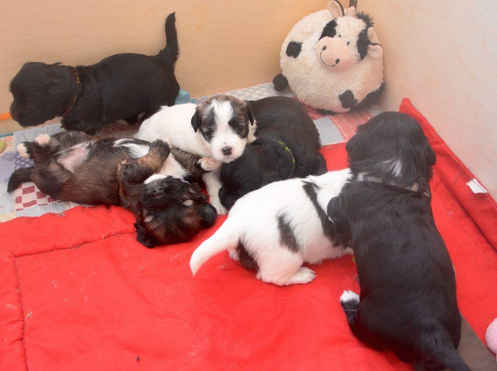 chiens chats chiots à élevage bichon havanais la vie est belle
