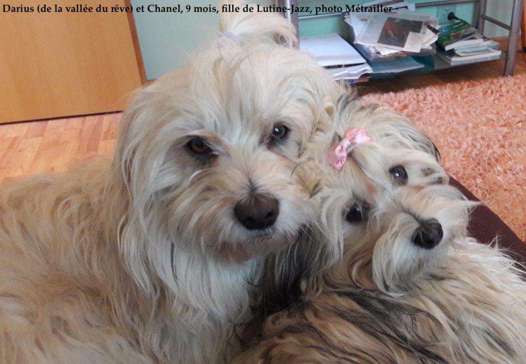 Coco Pico Bloom Chanel nés à l'élevage de bichon havanais à la vie est belle en Suisse