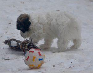 bichons havanais élevage la vie est belle neige