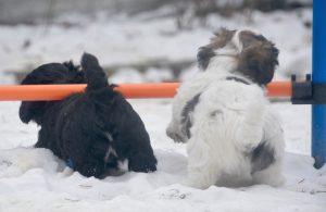 on s'amuse bien au jardin de l'élevage de bichon havanais Suisse
