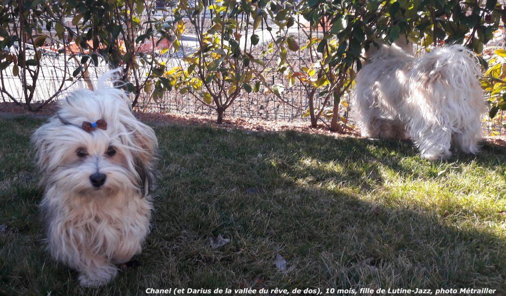 Chanel et Cookie de l'élevage de bichon havanais à la vie est belle
