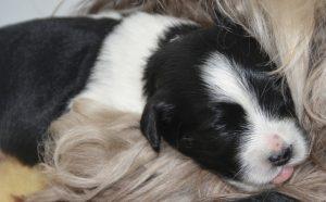 des regards tout neufs des chiots de l'élevage de bichon havanais