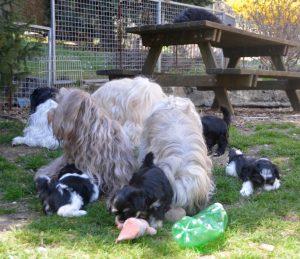 le plein air à l'élevage de bichon havanais à la vie est belle