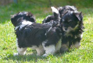 six semaines révolues pour nos chiots bichons havanais