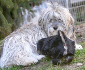 nos gais lurons au jardin à l'élevage de bichon havanais la vie est belle