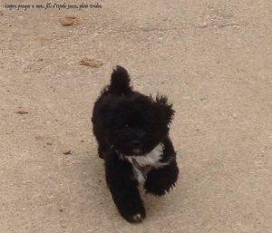 des petits noirauds bichons havanais nés à l'élevage de la vie est belle