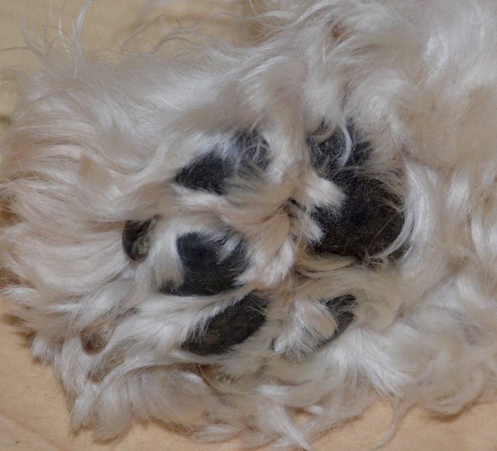 Les coussinets de nos chiens et la chaleur