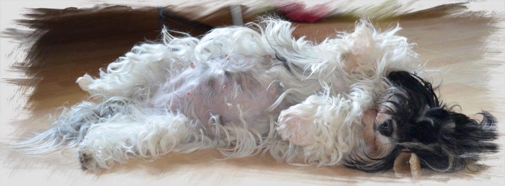 La gestation de Lutine, bichon havanais à l'élevage à la vie est belle