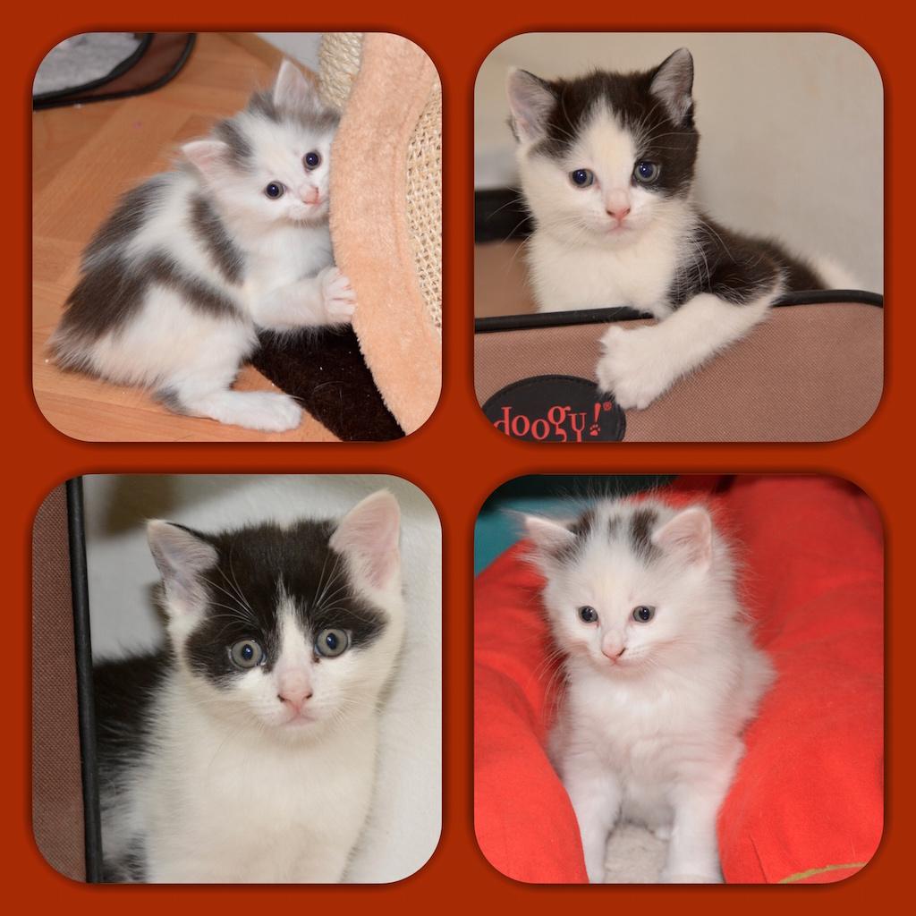 Bébés havanais et chatons