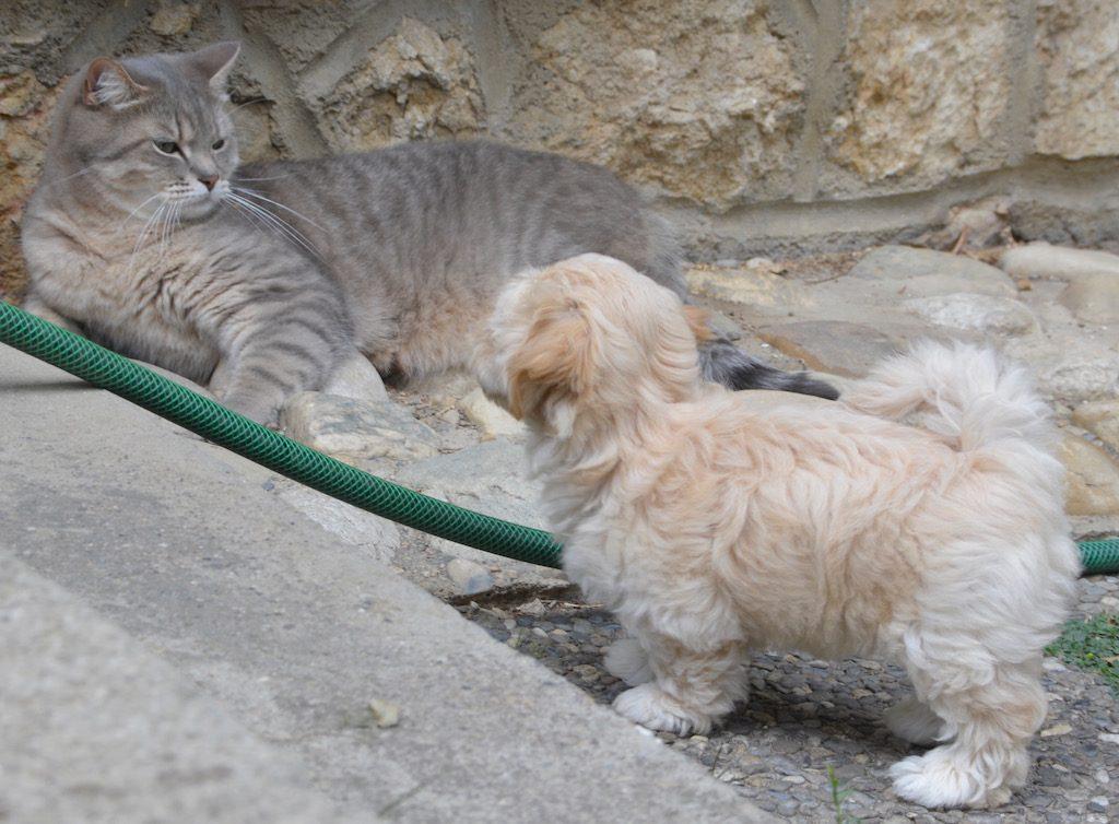 Les petits bichons et le chat