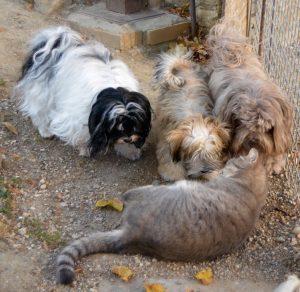 Petite visite à bichon havanais élevage