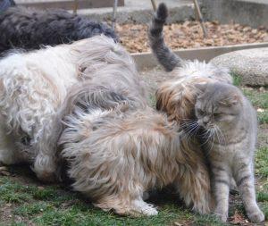 L'aura de Corsaire le chat auprès des bichons havanais