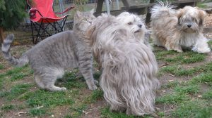 L'aura de Corsaire le chat