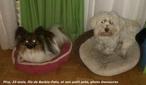 Bichon havanais Pico