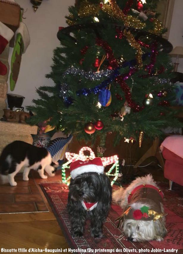 Petits lutins de Noël bichon havanais