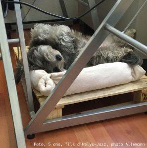 Bichon havanais Pato à la sieste