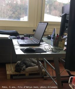 Bichon havanais au travail