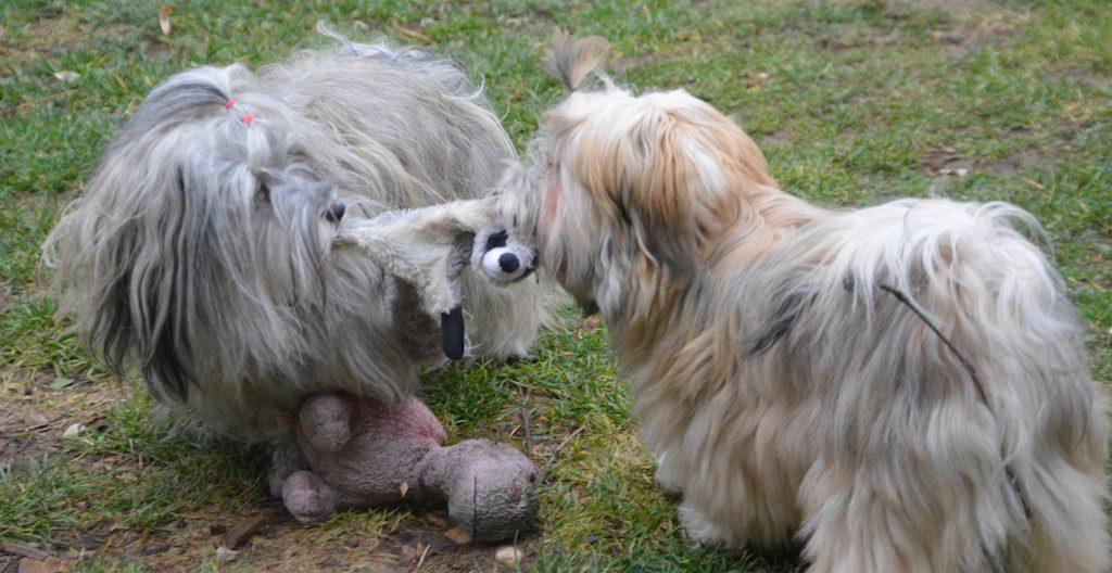 Eole, bichon havanais, après le départ de ses bébés