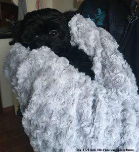 Ella, chiot bichon havanais, dans sa nouvelle maison