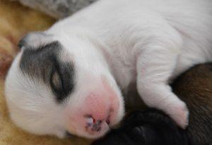 Chiot bichon havanais endormi
