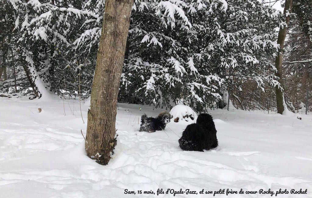 Bichons havanais et neige