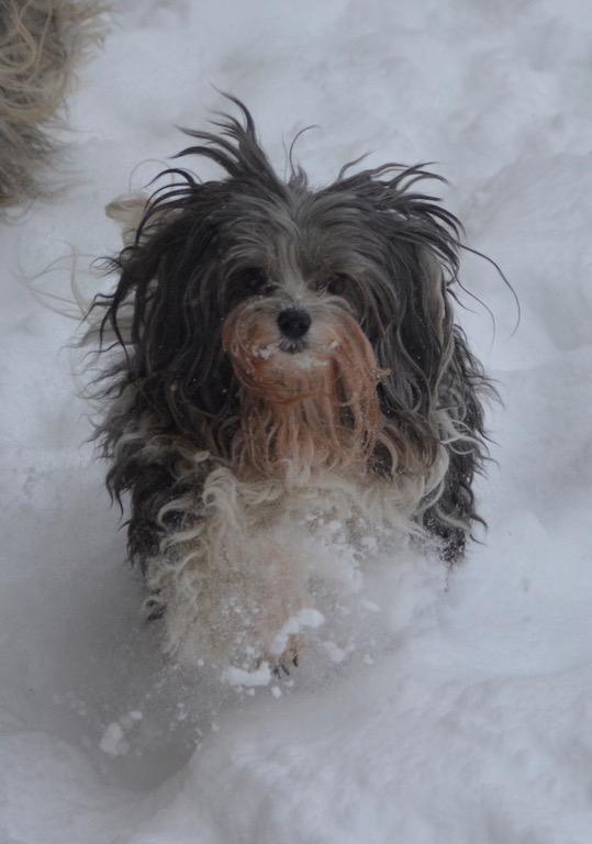 Bichon havanais et neige