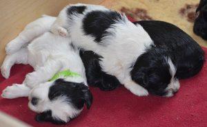Chiots bichon havanais de quatre semaines