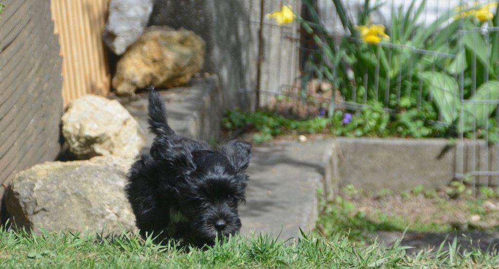 Bichon havanais au jardin
