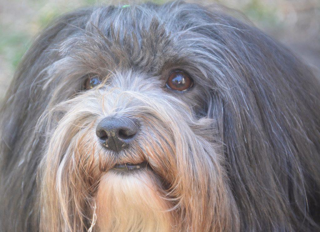 Le bichon havanais, un chien qui aime obéir