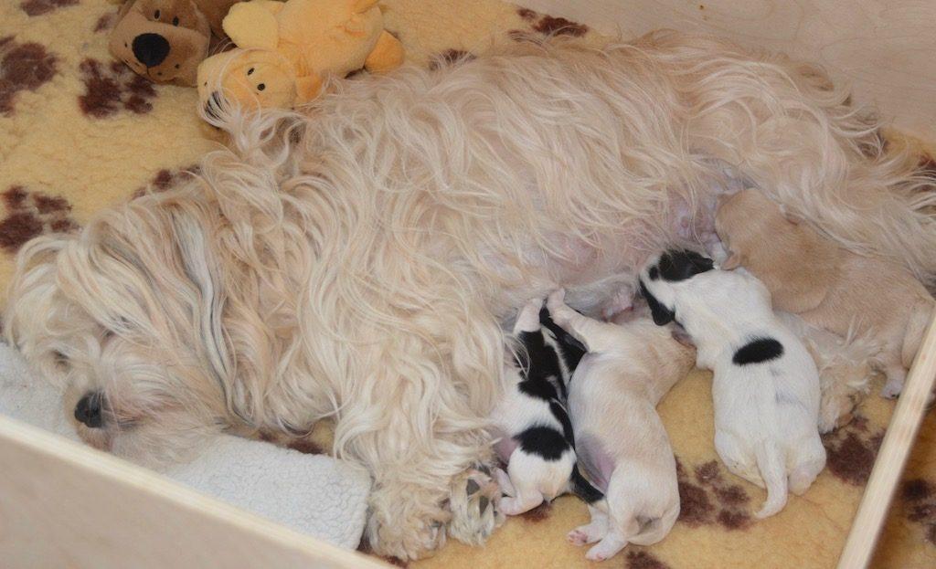 Maman bichon havanais et ses chiots
