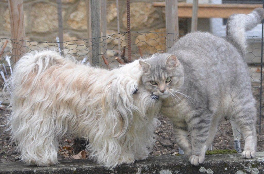 Un Bichon Havanais donnant un bisou à un chat